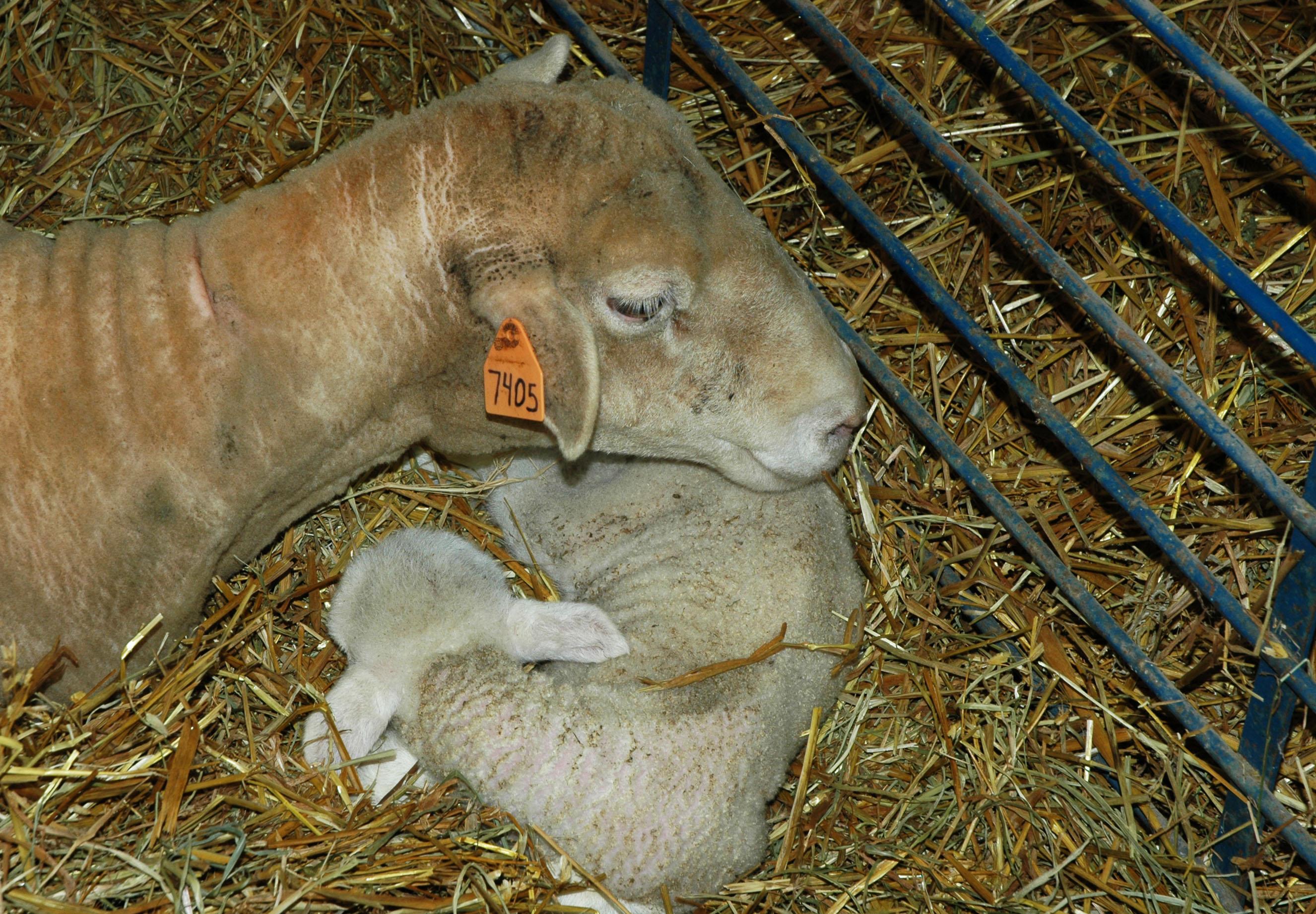 lamb 04