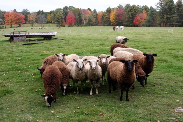 Tour - American Sheep