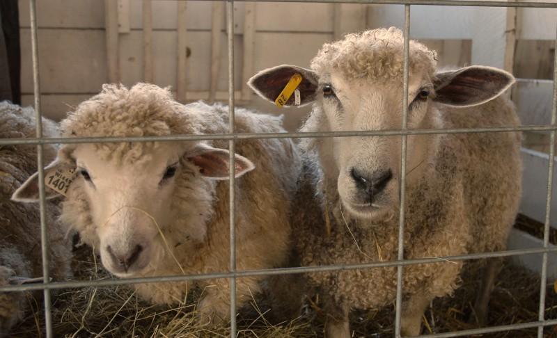 sheep 03 (2)