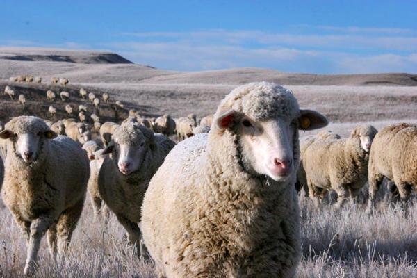 GMS-sheep-2