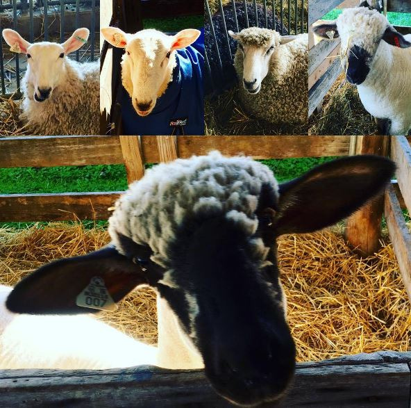 festival-sheep